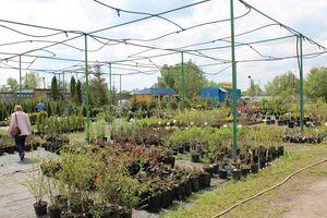 Садовый центр Маргаритка: продажа саженцев