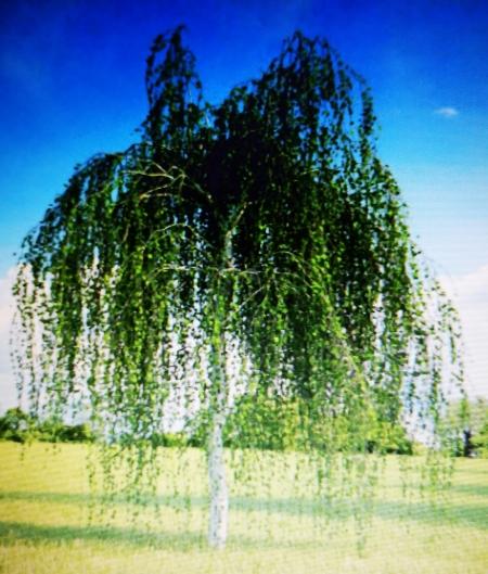 Береза плакучая (Betula pendula)